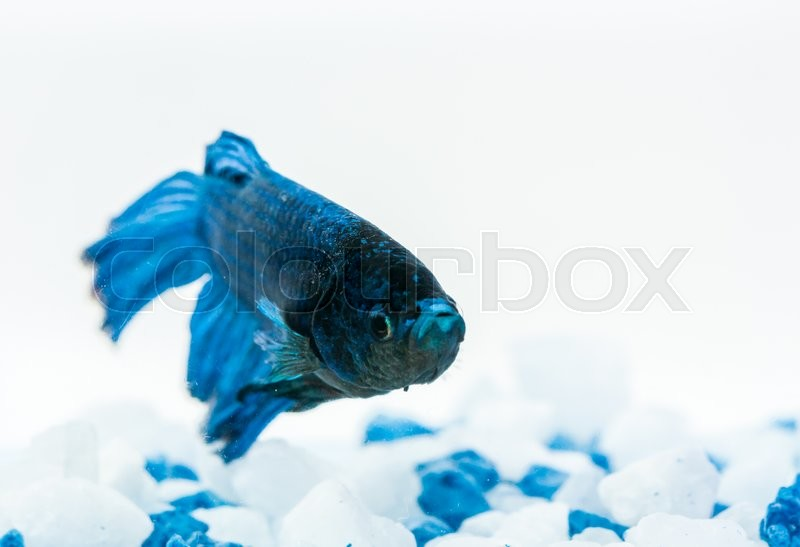 Stock image of 'Blue betta fish, fighter fish, in aquarium with blue and white stones'