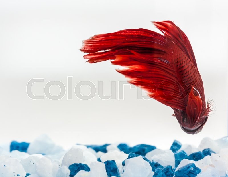 Stock image of 'Tail of red betta fish, fighter fish'