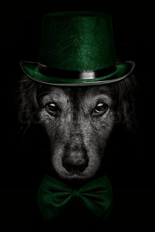 Stock image of 'dark muzzle spaniel dog  in a green hat and tie butterfly'