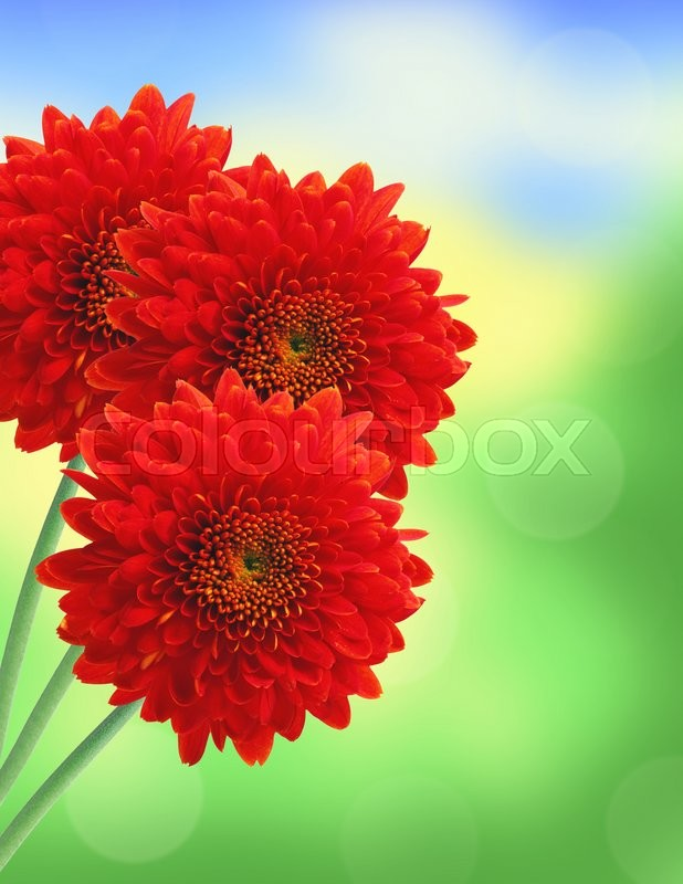 Stock image of 'Dahlia Autumn flower over nature background'