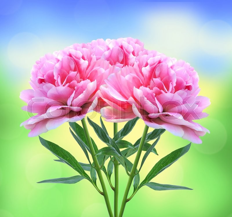 Stock image of 'Beautiful pink peony flowers over nature background'