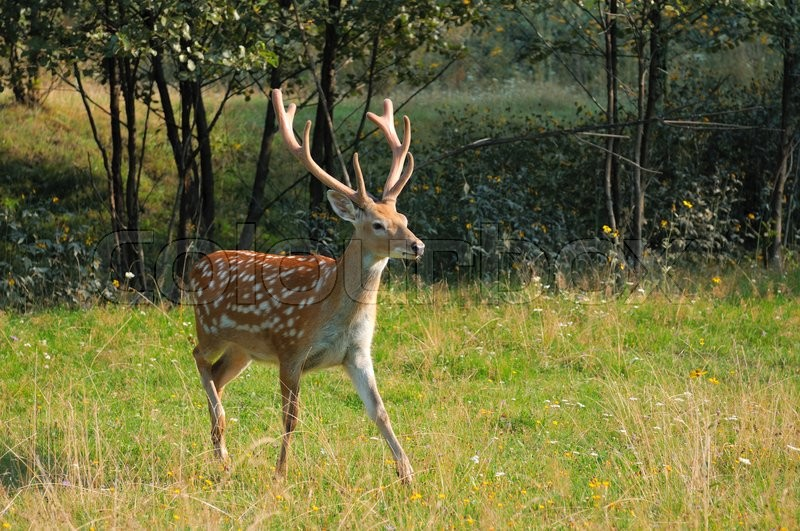 Stock image of 'Spotted deer in the meadow in the woods.'