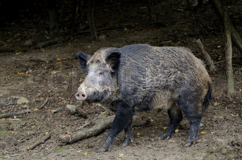 Stock image of 'Wild boar in autumn forest.'