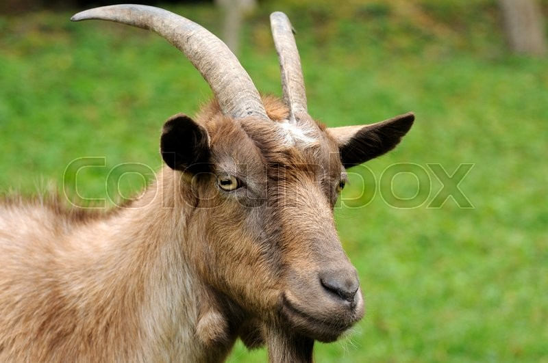 Stock image of 'Goat in meadow. Goat herd '