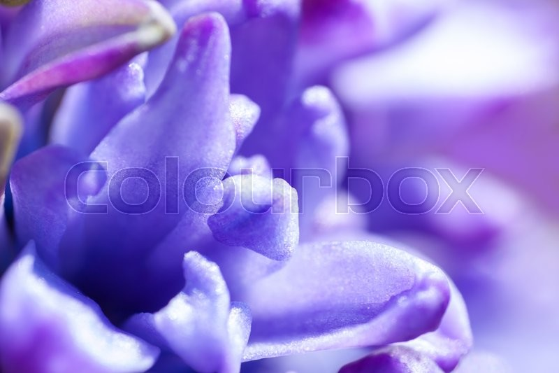 Stock image of ' background from purple flowers of a hyacinth  macro,  soft focus'