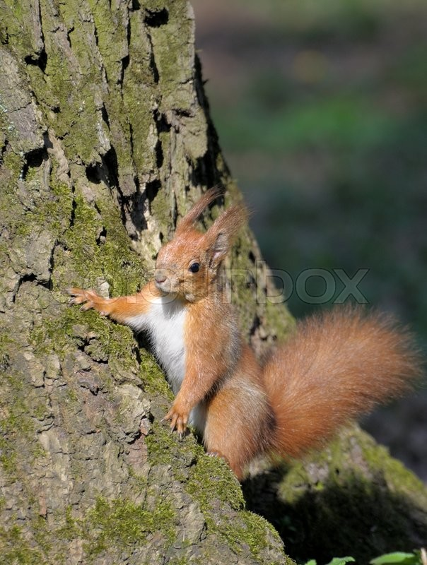 Stock image of 'Red forest squirrel playing outdoors.'