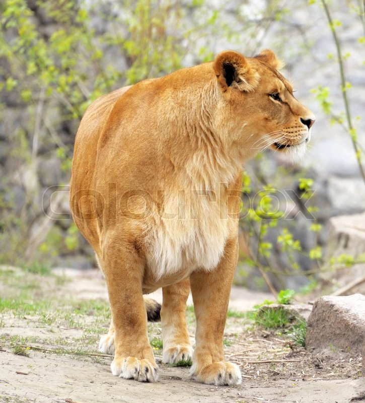 Stock image of 'Lioness.'