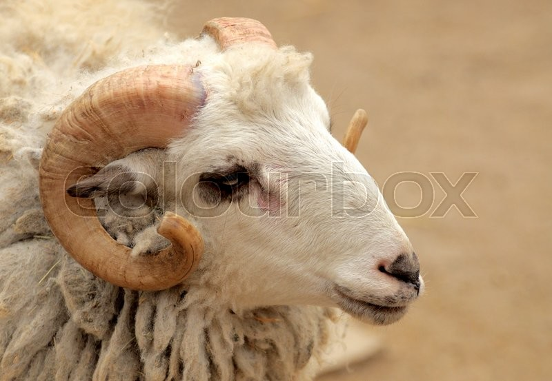 Stock image of ' The head of a ram closeup.'