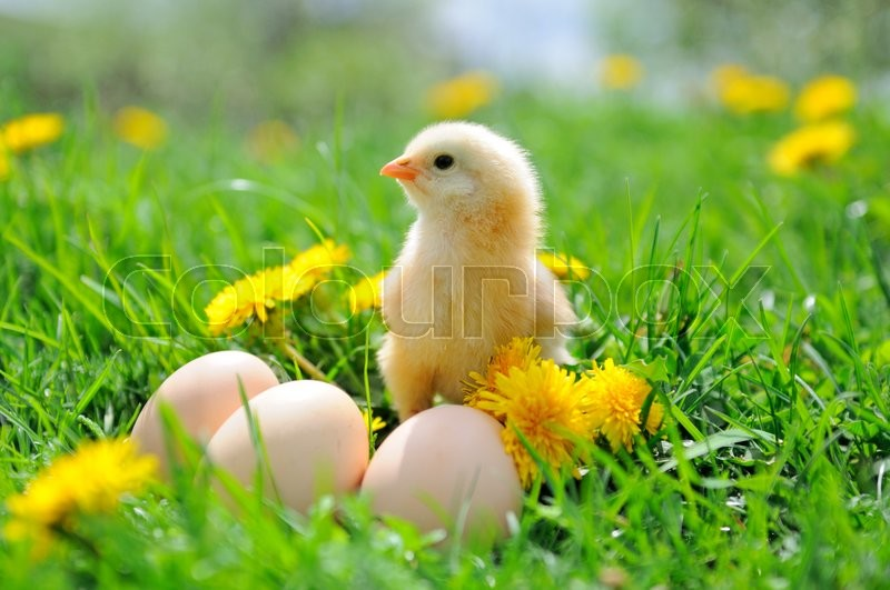 Stock image of 'Beautiful little chicken on green grass\\ '