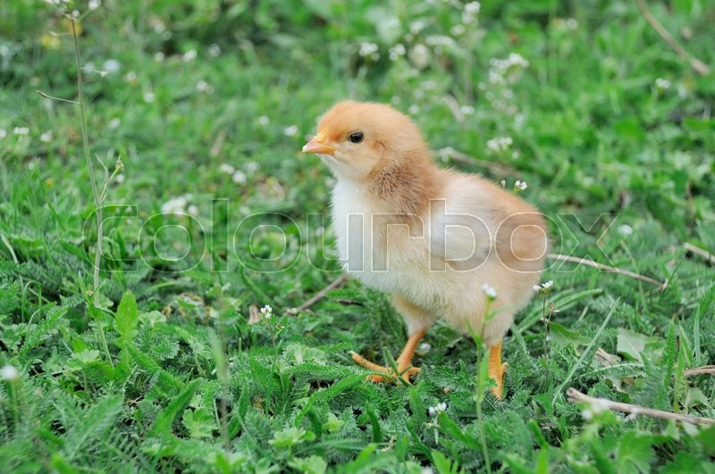 Stock image of 'Little chicken on green grass.'