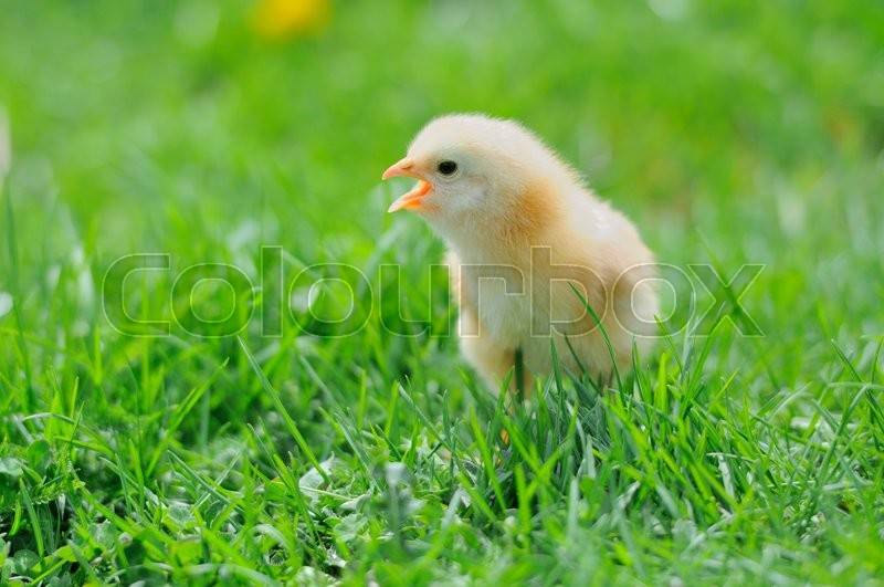Stock image of 'Beautiful little chicken on green grass'