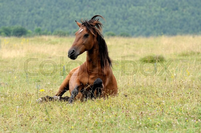 Stock image of 'Portrait of nice quarter horse'