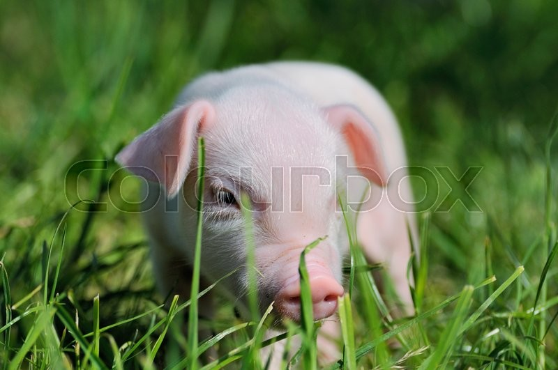 Stock image of 'Small piglet on a green grass'