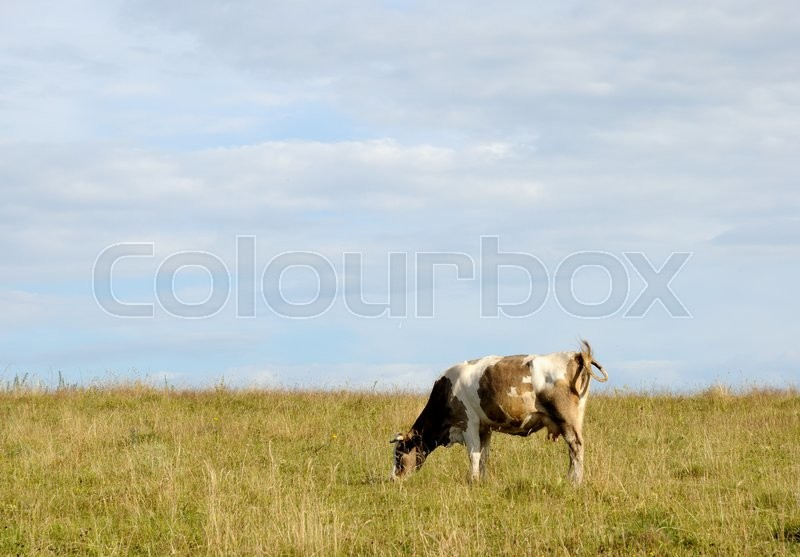 Stock image of 'The cow is grazing in the pasture.'