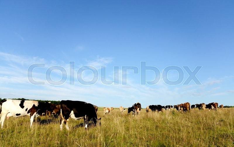 Stock image of 'Cows graze in the pasture.'