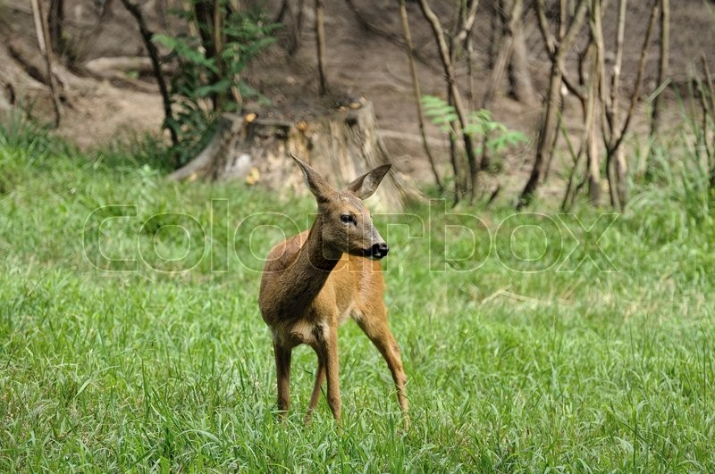 Stock image of 'Young deer in summer forest '