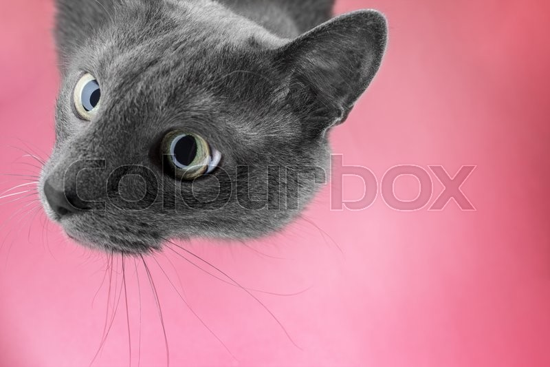 Stock image of 'grey cat sitting on the pink background looking at camera'