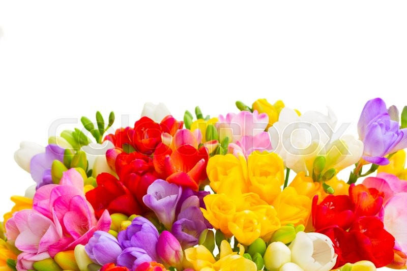 Stock image of 'Fresh freesia flowers posy border close up isolated on white background'