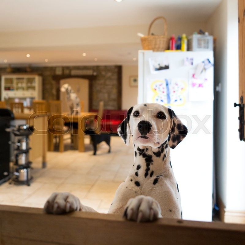 Stock image of 'Dalmatian dog jumping up at a door gate. There is another dalmation sitting on the dining table in the background a small dog standing on the floor.'