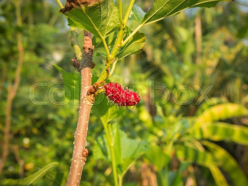 Stock image of 'Mulberry fruit on tree, Berry in nature, selective focus.'