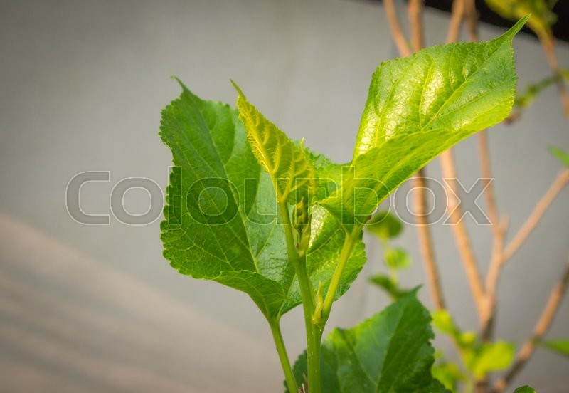 Stock image of 'Leaf of Mulberry , Berry in nature, selective focus.'