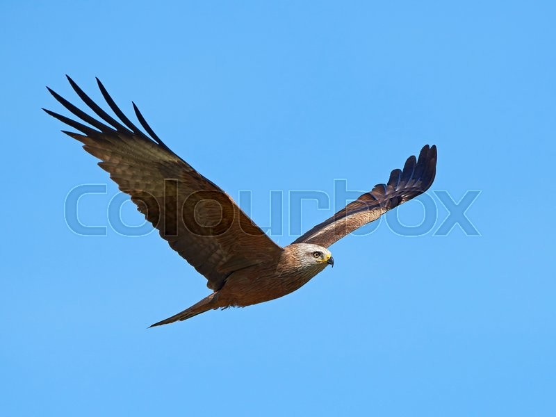 Stock foto af 'Red kite (Milvus milvus)'