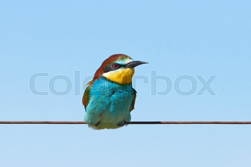 Stock image of 'European bee-eater sitting on a wire with blue skies in the background'