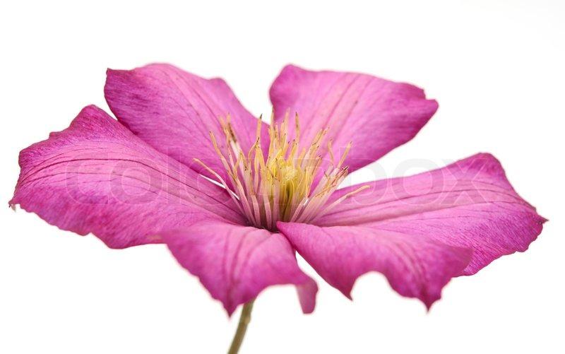 Lila Blume auf einem weißen Hintergrund | Stockfoto | Colourbox
