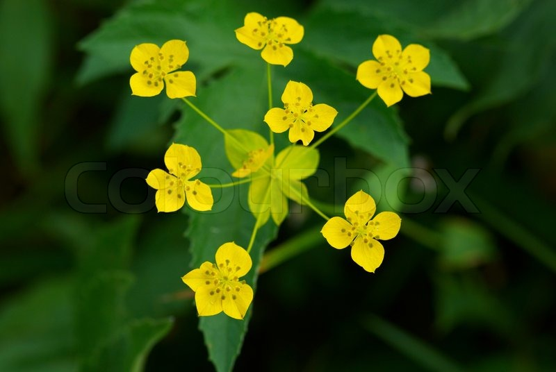 Many Small Wild Yellow Flowers Stock Photo Colourbox