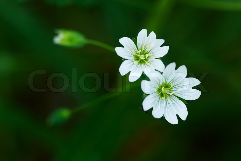Two small wild white flower stock photo colourbox mightylinksfo