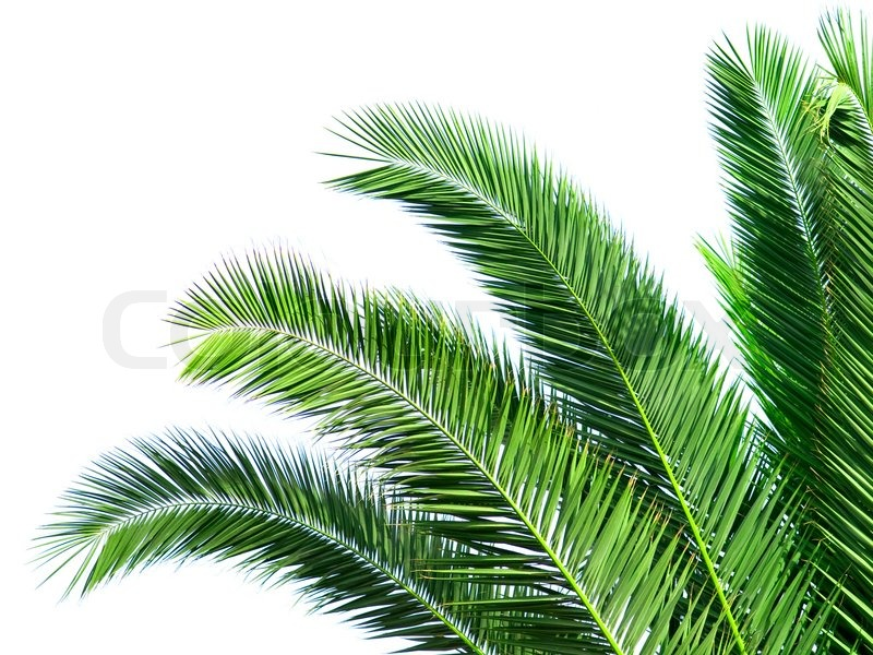 Leaves Of Palm Tree Isolated On White Stock Image Colourbox Download this bright tropical frame with exotic pattern with palm leaves illustration, tropical, frame, jungle transparent png or vector file for free. leaves of palm tree isolated on white
