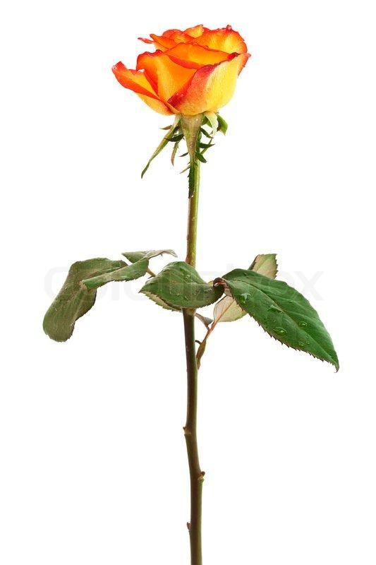 fresh orange rosen auf einem wei en hintergrund stock foto colourbox. Black Bedroom Furniture Sets. Home Design Ideas