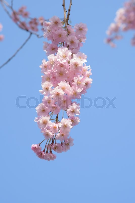 Stock image of 'Weeping cherry blossoms'