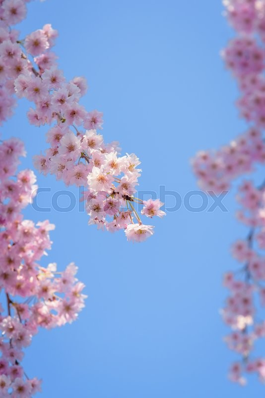 Stock image of 'Weeping cherry blossom with blue sky'