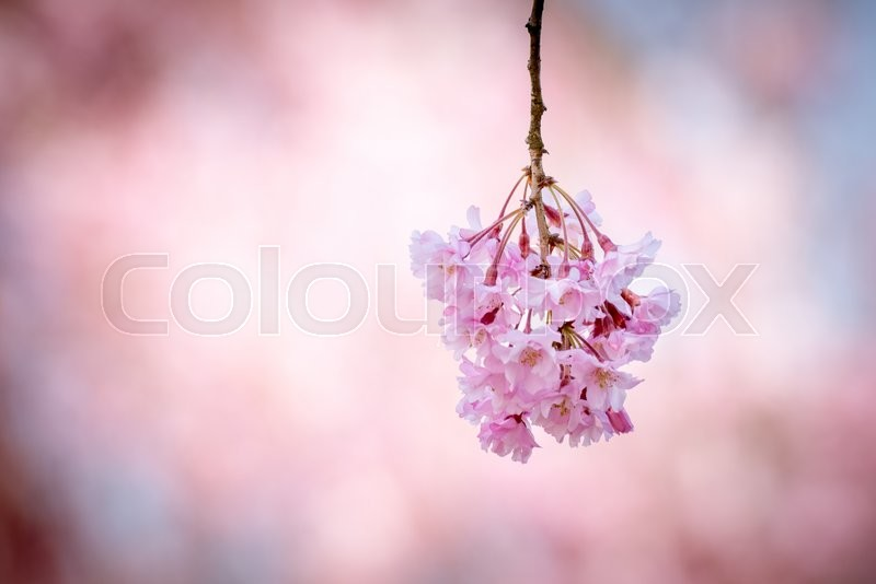 Stock image of 'Spring cherry blossom,Japan'
