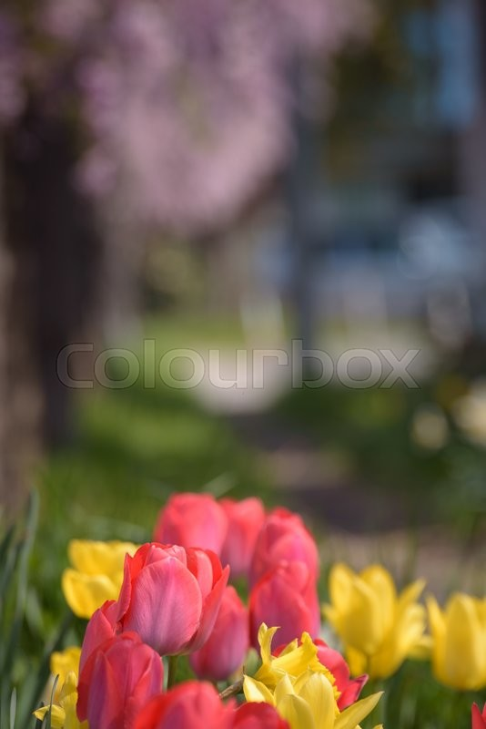 Stock image of 'Red and yellow tulips with Cherry tree background'