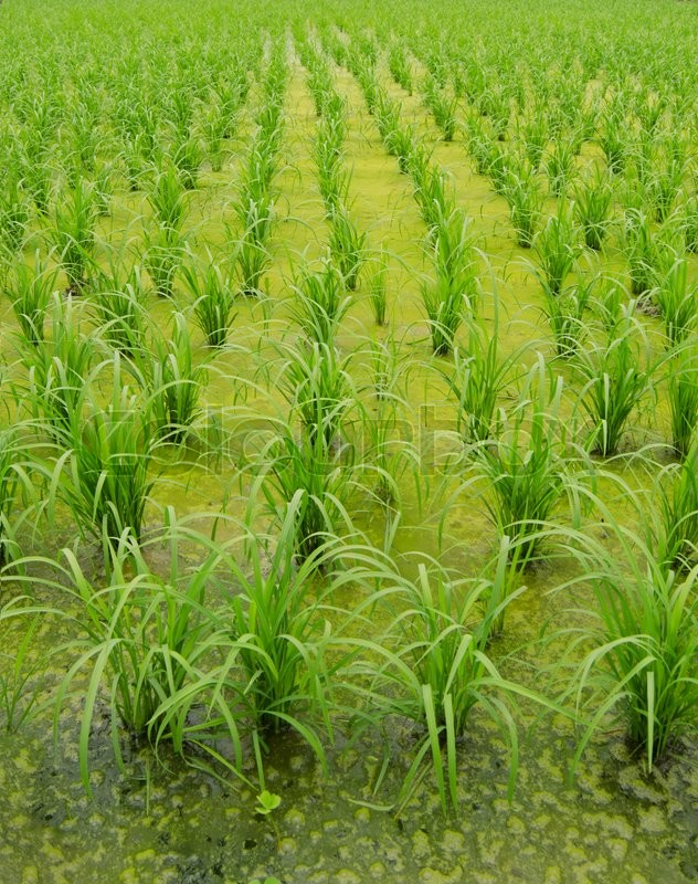 Stock image of 'Young rice on the rice terraces'