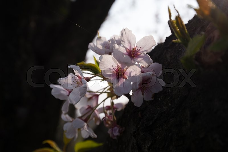 Stock image of 'Cherry blossoms with lights'