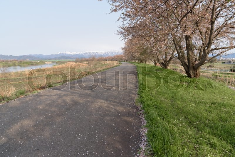 Stock image of 'Path way and Cherry blossoms tree'