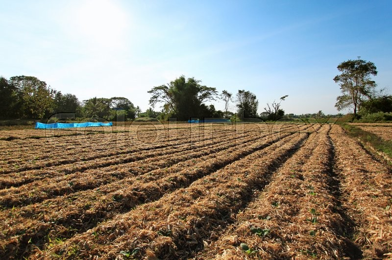 Stock image of 'Tobacco farming in Thailand'