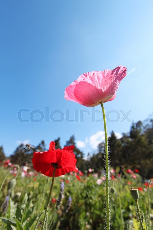 Stock image of 'Opium flowers'