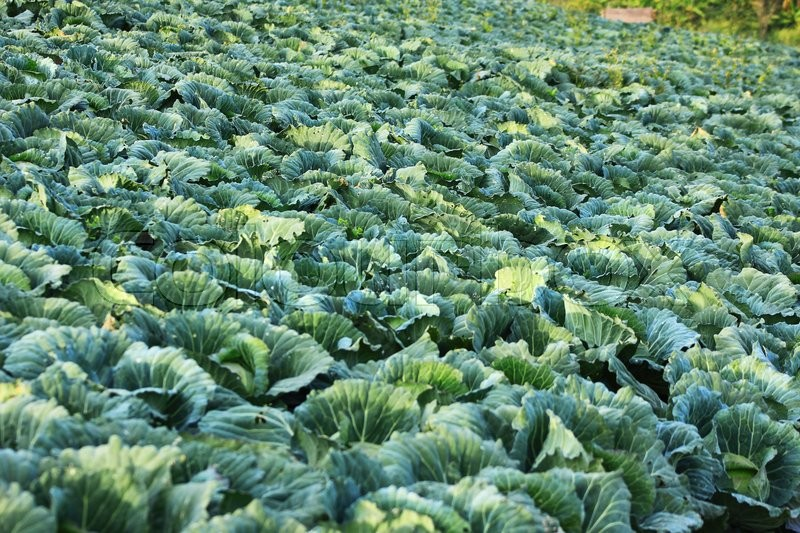 Stock image of 'Cabbage garden'