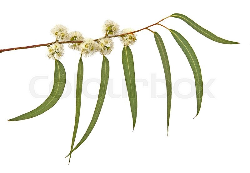 Stock image of ' close up of Eucalyptus branch'