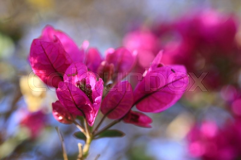 Stock image of 'Bougainvillea is a very popular plant on the Canary Islands'