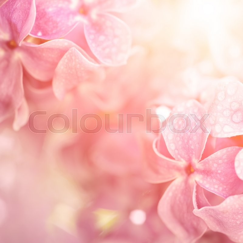 Stock image of 'Macro image of spring soft violet  lilac flowers with water drops, natural seasonal sunny floral background. Can be used as holiday card with copy space.'