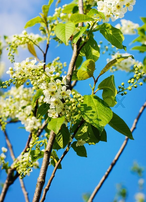 Stock image of 'branch of bird cherry in front of  blue sky. '