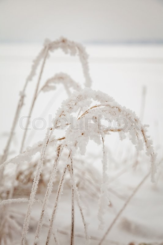 Stock image of 'Image of grass with hoar frost. '