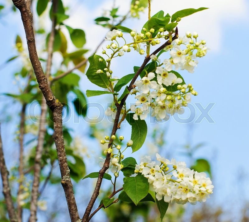 Stock image of 'Bird cherry tree in blossom in spring'