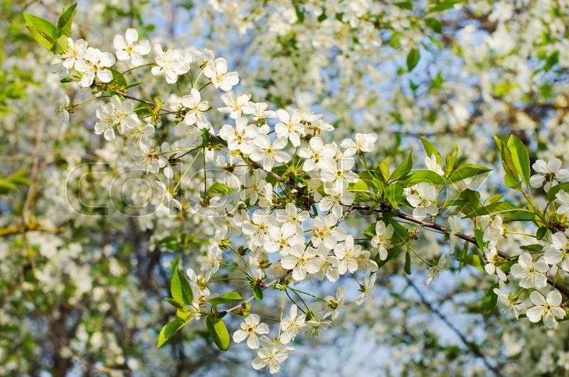 Stock image of 'Bunches of white cherry blossoms. Spring day. '