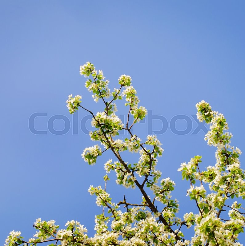 Stock image of 'Beautiful spring blooming tree, gentle white flowers.'